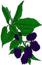 blackberry http