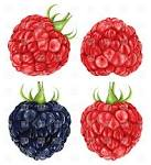 raspberries and blackberry food and beverages download royalty