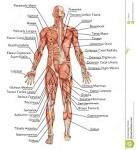 anatomy of male muscular system stock photos image