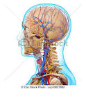 stock illustration of man head circulatory system in whit d art
